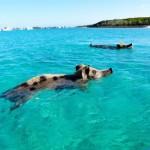 Plavajuce prasatá