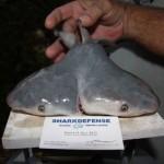 Dvojhlavý žralok